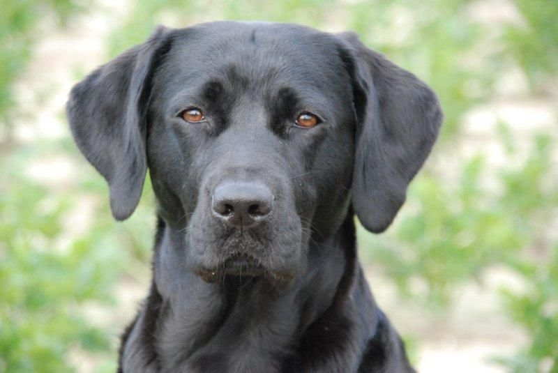 Labrador Retriever Black Dog