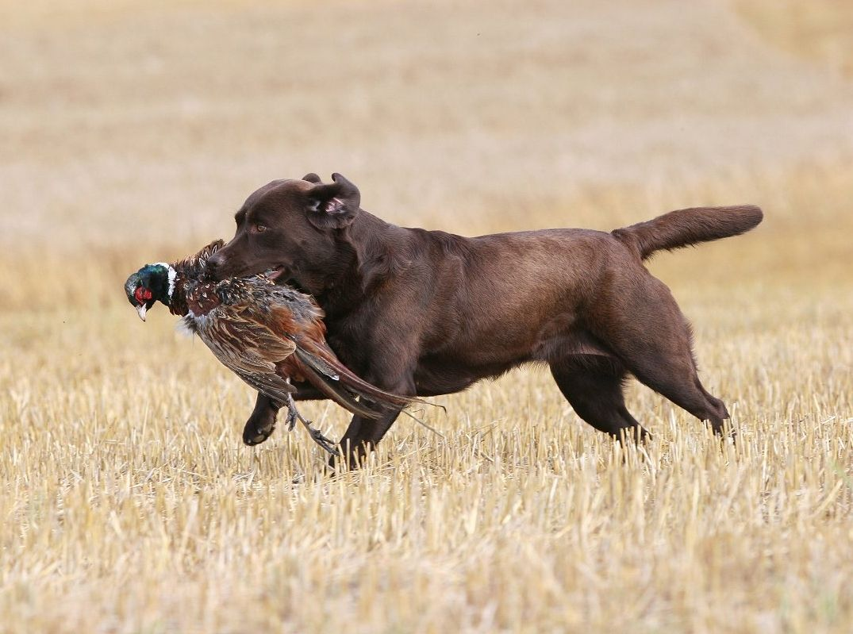 Labrador Retriever Ausfuhrliche Rassebeschreibung Deutscher Retriever Club E V
