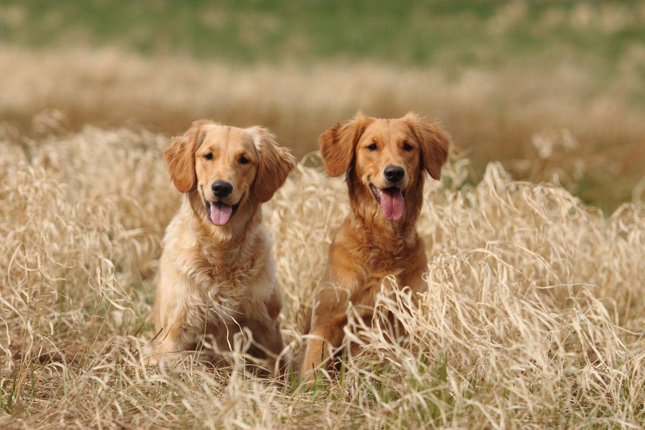 Einfache Hundesuche In Der Drc Datenbank Deutscher Retriever Club E V