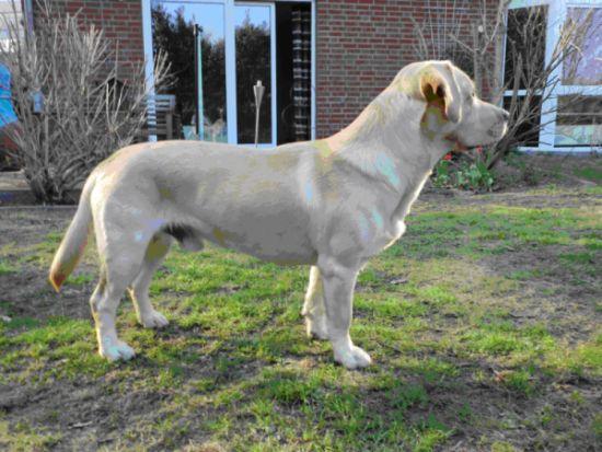 Zwergwüchsiger Labrador-Retriefer